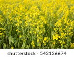 Organic Agriculture  Mustard...