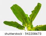 Close Up Banana Tree Green...
