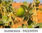 Sahara Desert Plant Sodom Appl...