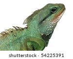 reptile animal lizard isolated in white - stock photo
