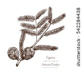 vintage cypress illustration.... | Shutterstock .eps vector #542284438