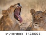 A lioness yawning with her mouth wide open, showing off her canines and massive tongue - stock photo