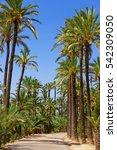 Palm Grove In Elche  Valencian...