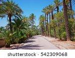 Palm Grove Of Elche  Spain.