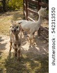 Small photo of The wonderful alpaca is in the farm