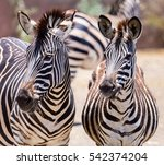 The Plains Zebra Is The Most...