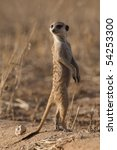 A meerkat looking over its shoulder whilst standing upright - stock photo