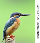 Small photo of Beautiful bird male Common Kingfisher or Eurasian Kingfisher standing on the wooden pole in the nature (Alcedo atthis)