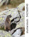 Small photo of Alpine marmot