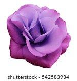 pink violet  rose flower  ... | Shutterstock . vector #542583934