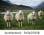 Sheep In Scotland  3