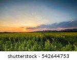 sunset at sunflower field   Shutterstock . vector #542644753
