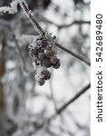 Small photo of a grapes raceme is in a hoarfrost
