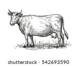 hand drawn cow. sketch vector... | Shutterstock .eps vector #542693590