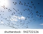 swarm of wild geese flying... | Shutterstock . vector #542722126