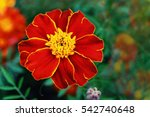 Small photo of marigolds - his name was in honor of the grandson of the God Jupiter. Tagesa/Marigold flower closeup on blurred background