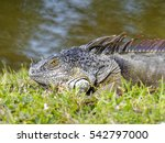 Close Up Of A Green Iguana In...