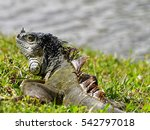 Green Iguana On Green Grass By...