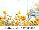 the colorful cosmos flower in... | Shutterstock . vector #542803306