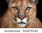 Puma Close Up Portrait With...