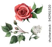 Stock photo wildflower rose flower in a watercolor style isolated full name of the plant rose hulthemia 542901520
