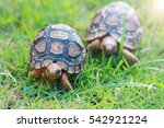 Small photo of baby turtles walking on grass.