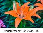 Orange Lilies Flowers.