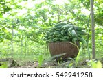 Sponge Gourd Luffa Gourd Plant...
