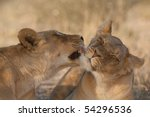 One lioness grooming another in the kalahari desert, south africa - stock photo