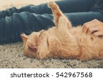 Stock photo cute cat lying on carpet near its owner close up view 542967568