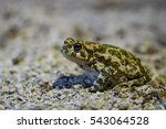 European Green Toad  Bufo...