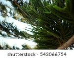 Araucaria Heterophylla  Norfol...