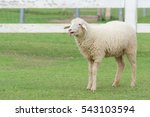 sheep in farm on grass.
