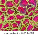 Coleus Colorful Red And Green...
