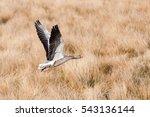Gray Goose  Anser Anser  Flyin...