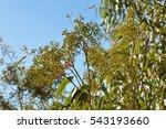 eucalyptus seeds on branch | Shutterstock . vector #543193660