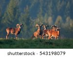 Mouflon  Ovis Orientalis...