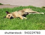stray dog lies on the grass in...   Shutterstock . vector #543229783