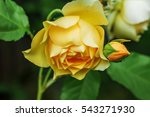 Beautiful Yellow Rose On The...