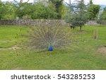 Peacock Bird In Saint Naum...