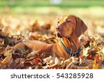 Hungarian Vizsla Dog Lying...