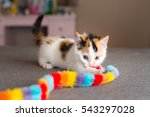 Calico Kitten With Toy