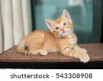 orange kitten posing  | Shutterstock . vector #543308908