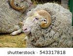 a ram breeds soviet merino | Shutterstock . vector #543317818