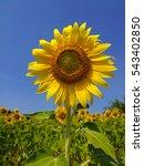Sunflower In Blue Sky
