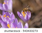 Closeup View Of Honeybee To A...