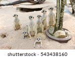 Suricate Or Meerkat Family...