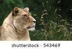 Lioness staring out over its surroundings - stock photo