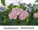 hydrangea flower in launceston...   Shutterstock . vector #543543190