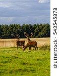 Deer Herd In Woodland